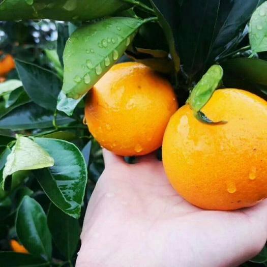 湖南省懷化市麻陽苗族自治縣甜橙 麻陽冰糖橙錦蜜新品種歡迎微商,一件代發,優惠多多