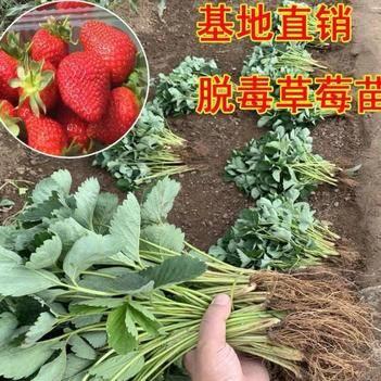 美十三草莓苗  优质品种苗  根系发达  成活率高