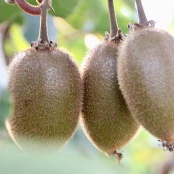周至香甜猕猴桃,原产地直供,海沃德系列