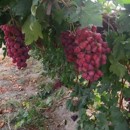 新疆維吾爾自治區烏魯木齊市頭屯河區 無任何化肥農藥的無公害有機葡萄
