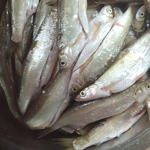 福建省福州市闽侯县白条鱼 小白条翘嘴鱼开肚新鲜可冻板泡沫箱发货