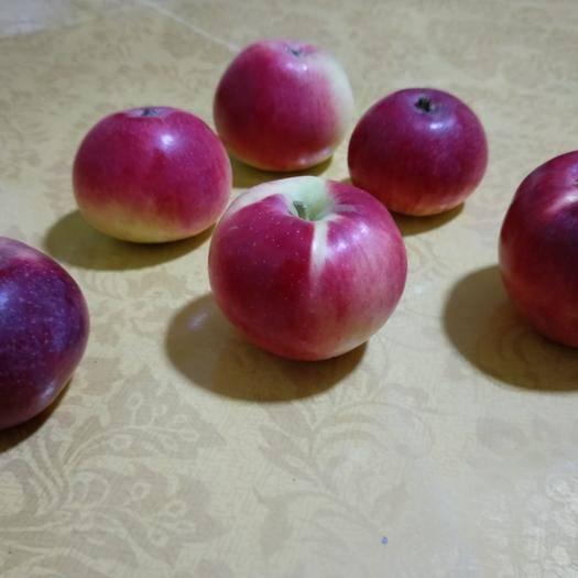 吉林省延邊朝鮮族自治州琿春市寒富蘋果 純野生,全年一邊農藥沒打,一邊沒殺草。綠色,野生!