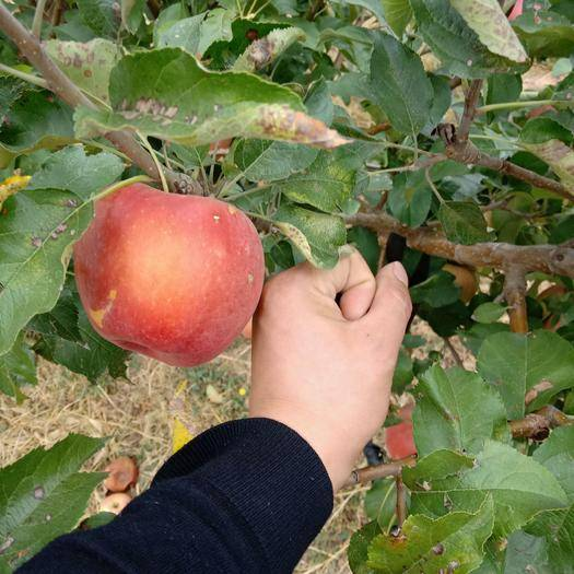 遼寧省朝陽市北票市富士王蘋果 85mm以上 全紅 光果