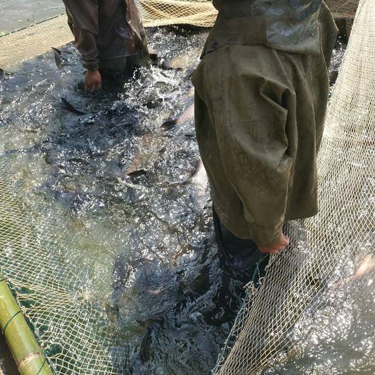湖南省邵阳市隆回县白条鱼 水库里捞的  水质好