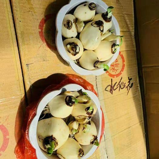廣東省廣州市花都區 水仙盆栽