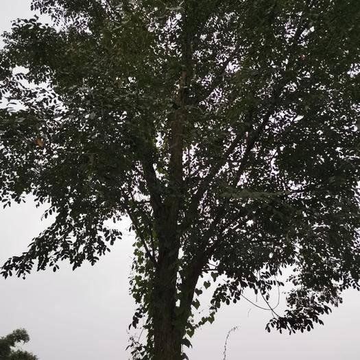 四川省成都市邛崃市小叶紫檀盆栽 小叶紫檀树出售