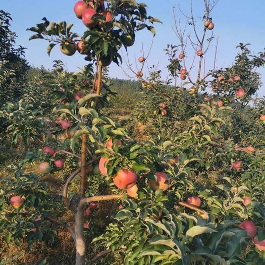 內蒙古自治區赤峰市寧城縣 蒙富有機蘋果
