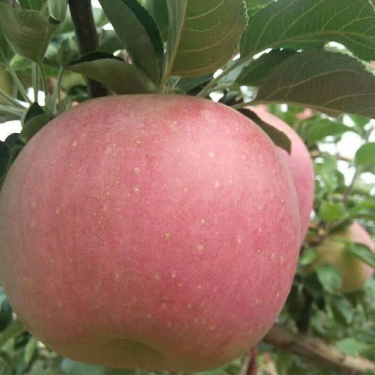 內蒙古自治區赤峰市寧城縣寒富蘋果 拒絕使用農藥化肥,可放心購買!