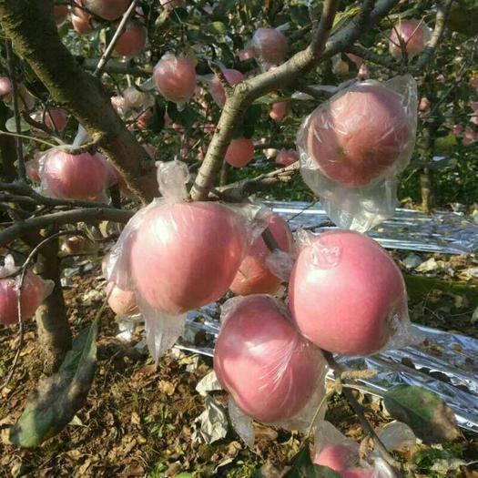 陜西省咸陽市禮泉縣 陜西禮泉紅富士蘋果現在大量開始采摘了