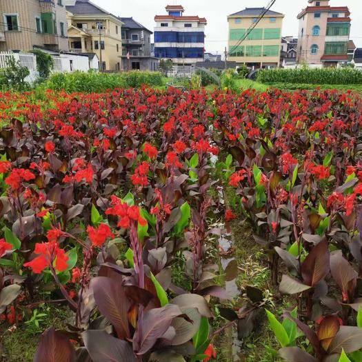 浙江省杭州市蕭山區 紫葉美人蕉  紫葉美人蕉供應 紫葉美人蕉苗圃基地水生植物