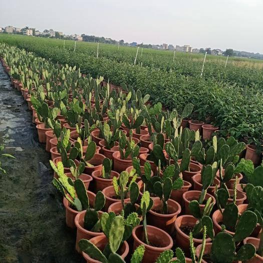 廣西壯族自治區貴港市桂平市食用仙人掌 為家增加一點色彩