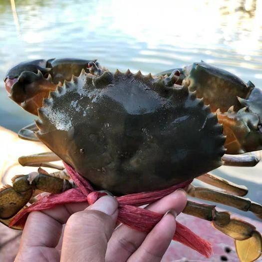 浙江省台州市三门县 三门青蟹 出塘价 超大海螃蟹 肉蟹 味美鲜甜  壳薄肉厚