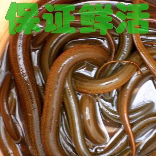 重庆市潼南区野生黄鳝 保证绝对鲜活,纯野生。干净水源。