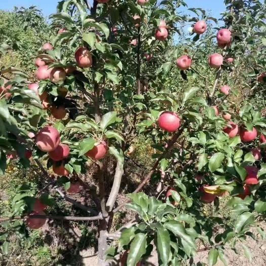 內蒙古自治區赤峰市寧城縣 寧城蘋果以個大、皮薄、鮮亮、脆甜遠近聞名,為果中之上乘佳品