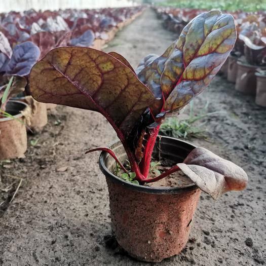山东省潍坊市青州市 红菠菜 绿化苗木 观叶植物 盆景花卉