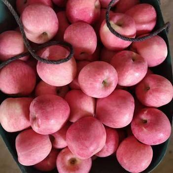 山東煙臺棲霞蘋果大量上市中