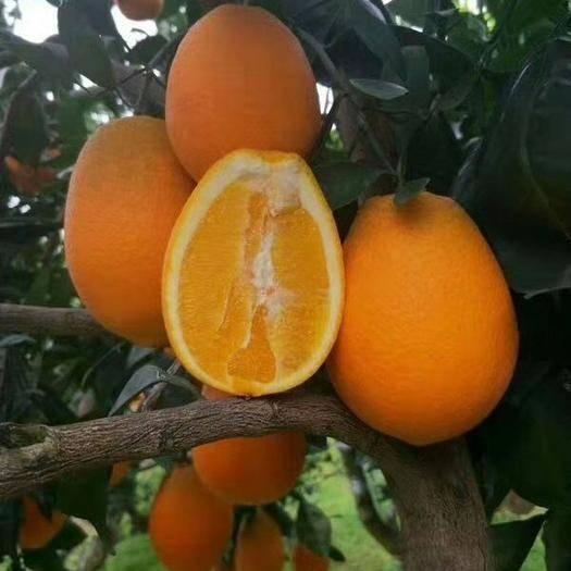 江西省贛州市會昌縣 橙子,臍橙大山里的貨,口甜皮薄水份好,歡迎咨詢