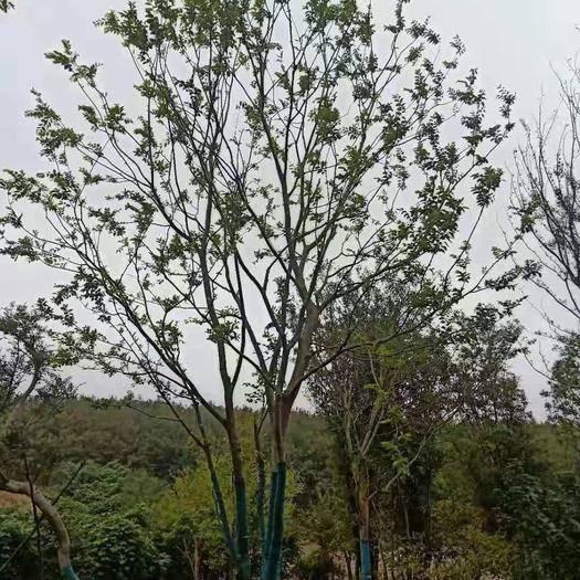 江苏省南京市浦口区 丛生朴树