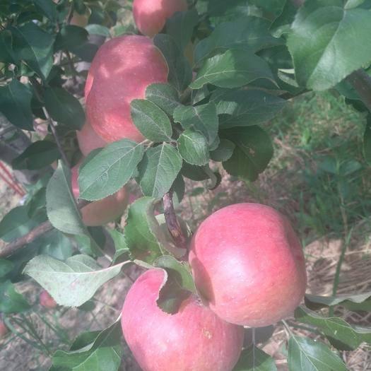 內蒙古自治區赤峰市寧城縣 寧城蘋果
