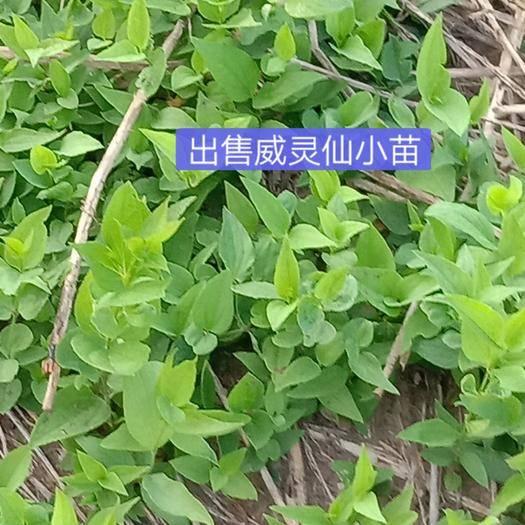 辽宁省丹东市凤城市白头翁种苗 易管理效益可观!