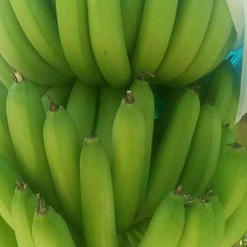 香蕉 頭年蕉 二年蕉 量大價優 誠信經營 一次交易終身朋友