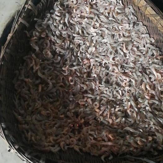 四川省广安市广安区草虾 淡水河虾,有大有小,一天可以可以收20—30斤活虾图片