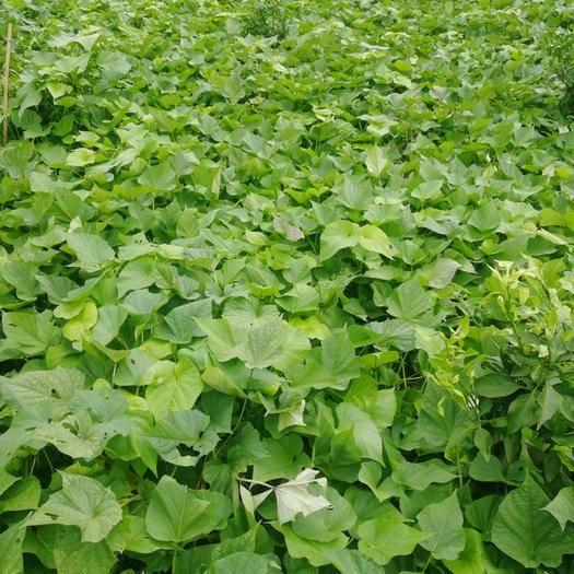 四川省成都市金堂縣 有四十畝紅薯葉