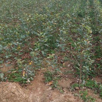 甜茶海棠苗 苹果砧木 代替山丁子和八棱海棠嫁接苹果最好砧木