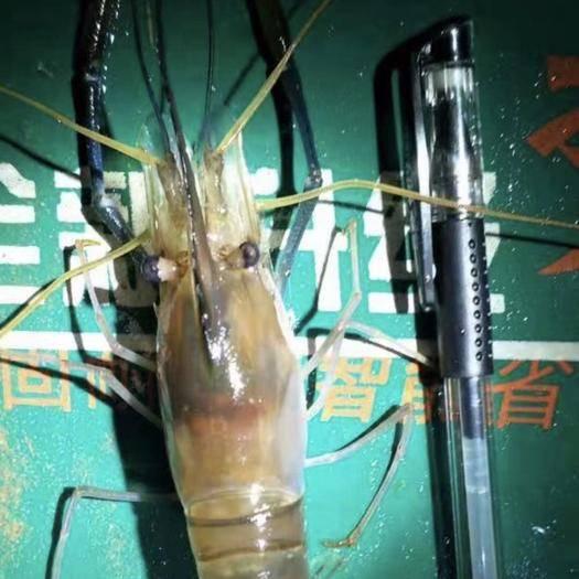 广西壮族自治区钦州市钦南区罗氏虾 自养罗氏沼虾,规格12头,有4-5万斤,坐标广西钦州,