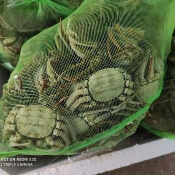 鮮活大閘蟹紅膏,清水養殖,毛蟹,稻田蟹,品質保障