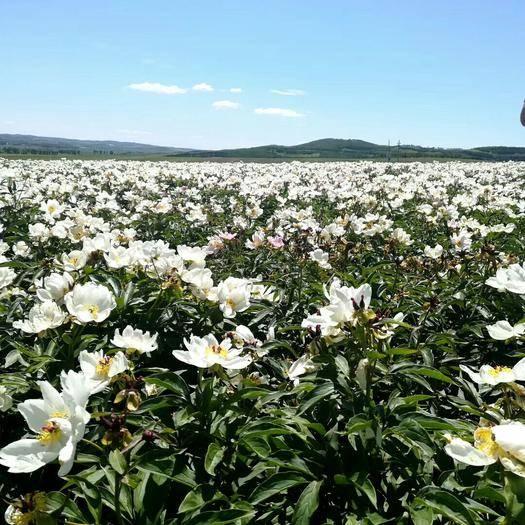 吉林省吉林市蛟河市中藥材赤芍 海拉爾品種赤芍,百噸起售,現挖現起,10.5一公斤