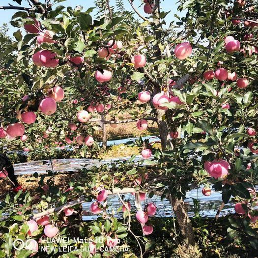 陜西省咸陽市禮泉縣 陜西紅富士蘋果,脆甜,色好,果園直發支持一件代發,