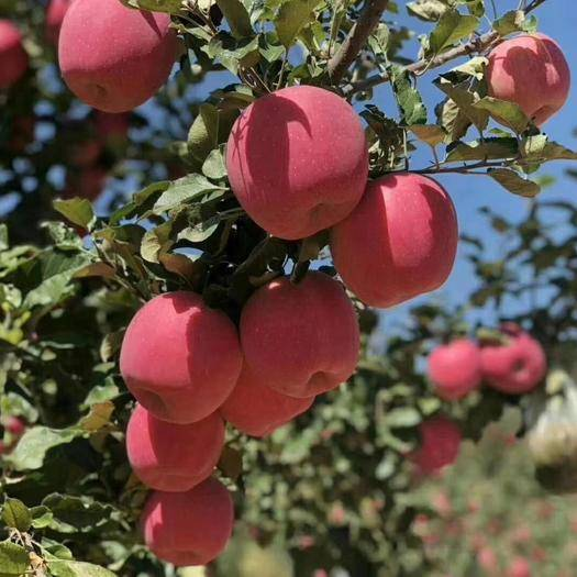 甘肅省平涼市靜寧縣 你今天吃蘋果了嗎?