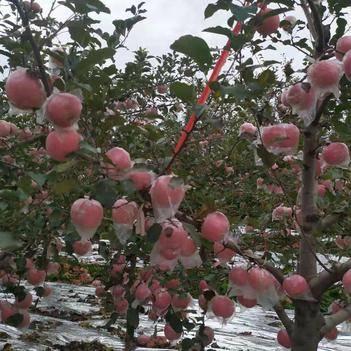 靈寶蘋果 高原紅富士,果大脆甜,成色大紅賣相好