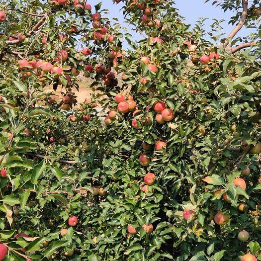 內蒙古自治區赤峰市寧城縣 對外預定最甜寒富蘋果,正式上市,尋找客商
