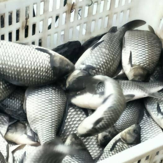 四川省德阳市广汉市 鲫鱼半斤起麻鲫。裸鲤1.5斤起。鲤鱼有甲1.5斤起有需要联系