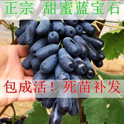 蓝宝石葡萄苗 包邮 带种植资料 保湿发货 签合同