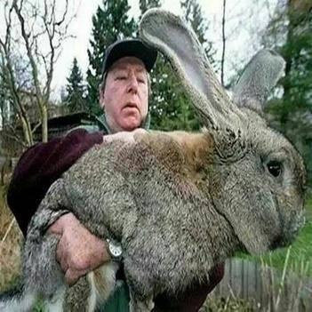 2019新品巨兔 喜馬拉雅巨兔 活體兔子大型肉兔子養50多斤