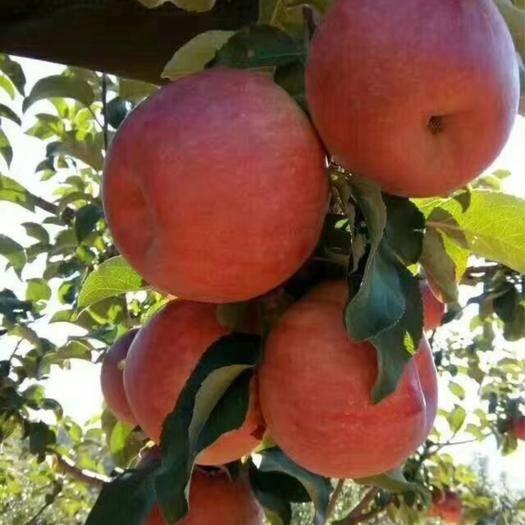 內蒙古自治區赤峰市寧城縣寒富蘋果 找收購商