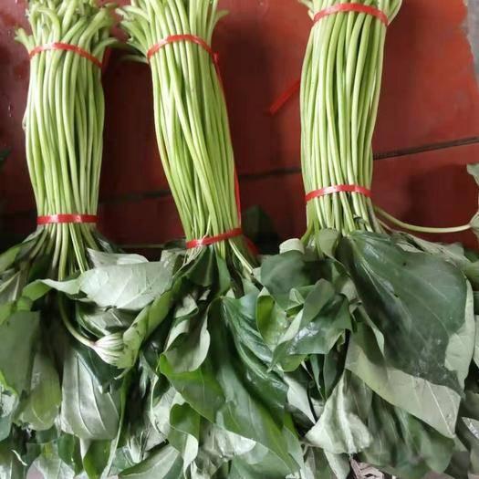 河南省新鄉市新鄉縣 溫棚種植紅薯苗,常年采摘紅薯葉,紅薯梗