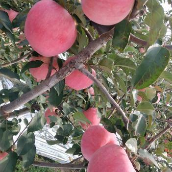 75以上寒富蘋果,顏色紅,8毛