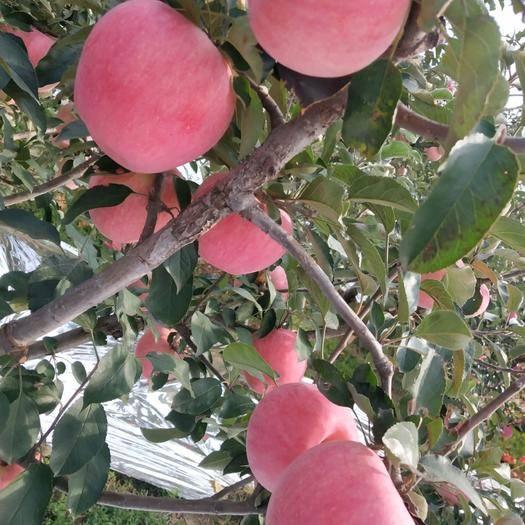 遼寧省葫蘆島市綏中縣 75以上寒富蘋果,顏色紅,8毛