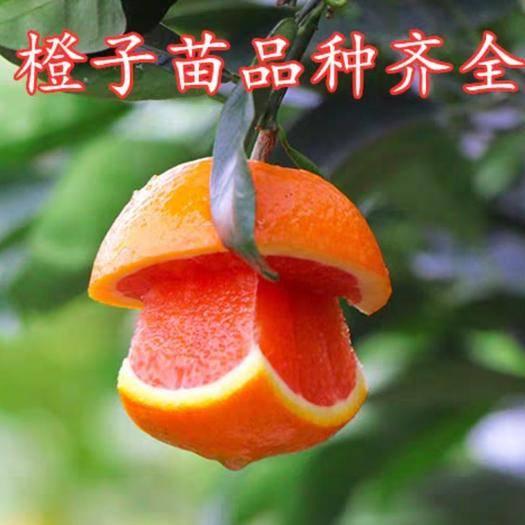 血橙苗 果树橙子树苗(无核血橙)当年结果南北方地栽盆栽庭院种植