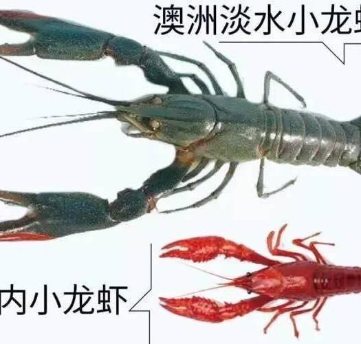 广东省惠州市惠东县澳洲龙虾苗 质量保证,技术支持