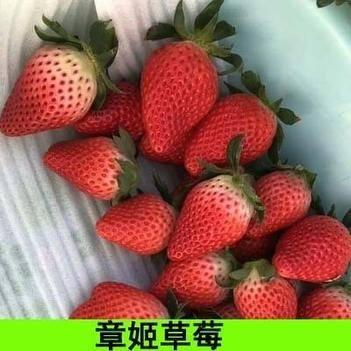 章姬草莓苗 草莓苗现挖发货 产地直销 量大优惠 包邮