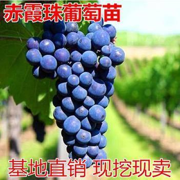 嫁接葡萄苗赤霞珠葡萄苗釀酒葡萄苗果樹苗南北種植當年結果