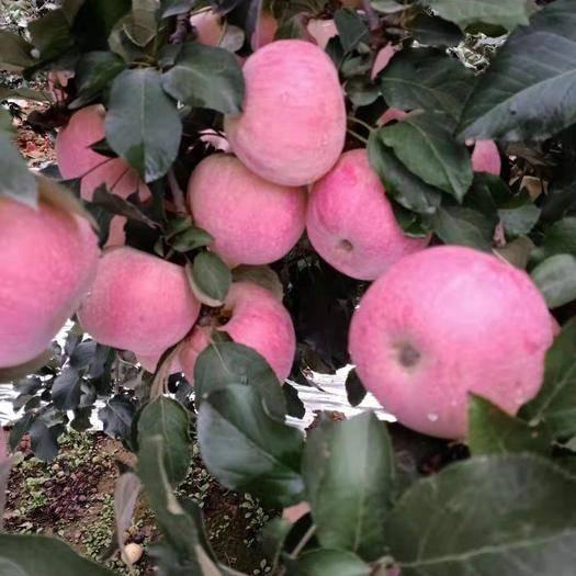河北省石家莊市新樂市 紅富士蘋果
