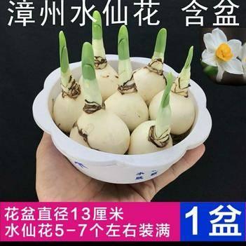 漳州水仙 自產自銷 可以大量訂購