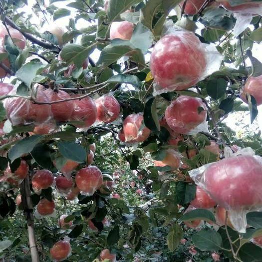 河北省衡水市饒陽縣 斗南蘋果大量出售  口感脆甜 顏色鮮艷 耐儲運 代丁
