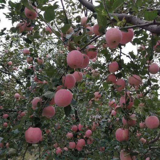 山東省淄博市沂源縣 富士王蘋果,口感香甜,可口,水分多。